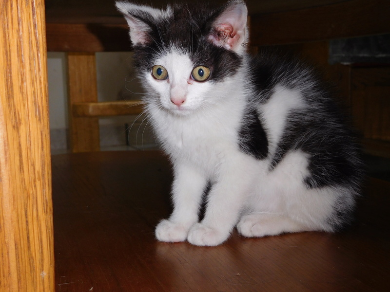 Nayade chaton noir et blanc 2 mois Dscn7713