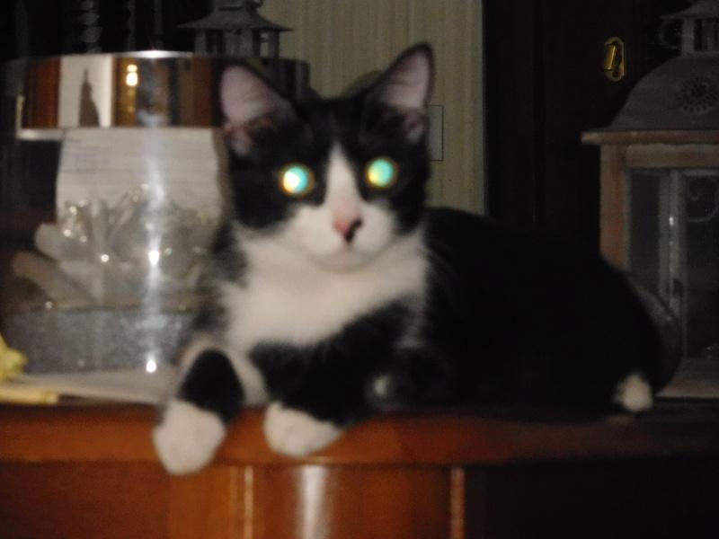 Tuxo chat noir et blanc né en septembre 2016 Dscn7810
