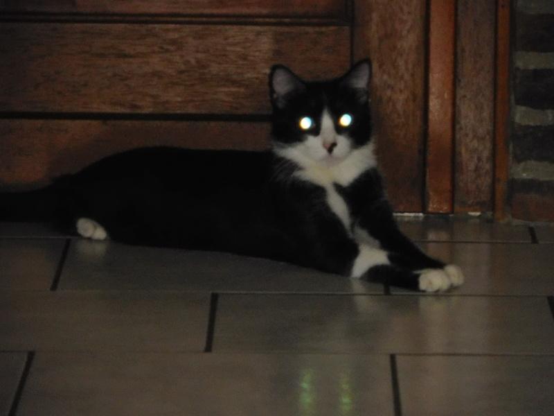 Tuxo chat noir et blanc né en septembre 2016 Dscn7811