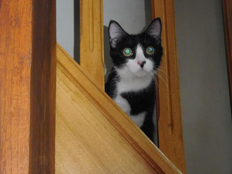 Tuxo chat noir et blanc né en septembre 2016 Dscn7812