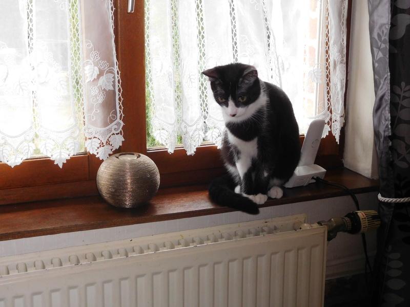 Tuxo chat noir et blanc né en septembre 2016 Dscn7813