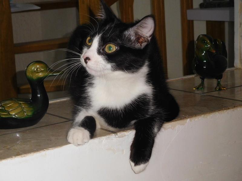 Tuxo chat noir et blanc né en septembre 2016 Dscn7814