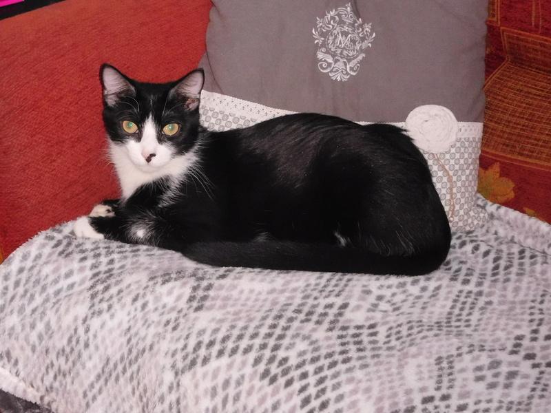 Tuxo chat noir et blanc né en septembre 2016 Dscn7815