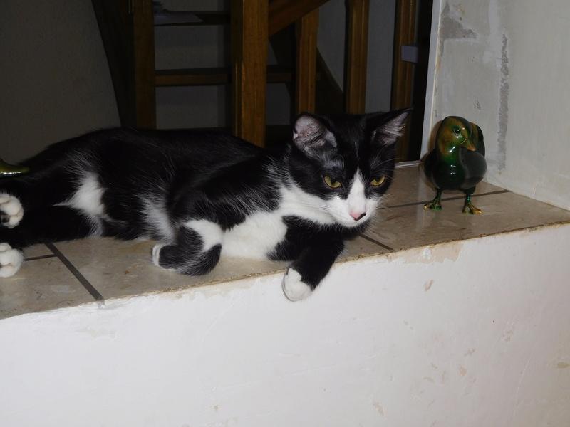 Tuxo chat noir et blanc né en septembre 2016 Dscn7816