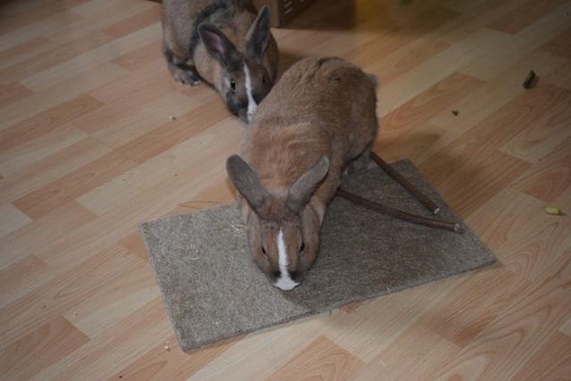 Basile, mâle, lapin, né le 01/06/14  - Page 2 Dsc_0088