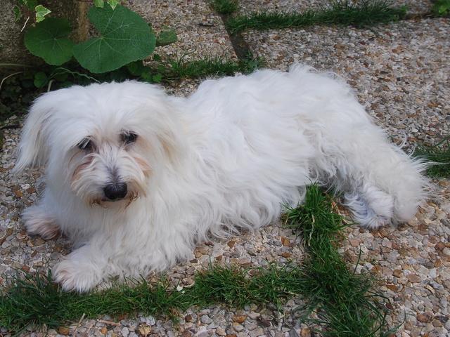 ERA, jolie Coton de Tuléar de 8 ans, réformée d'élevage - Page 2 Csc_0010