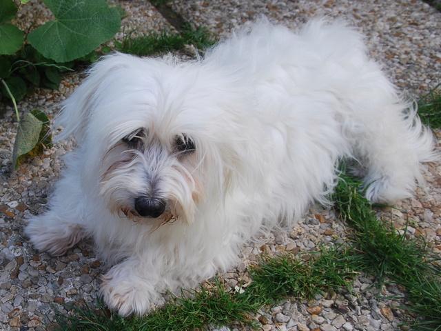 ERA, jolie Coton de Tuléar de 8 ans, réformée d'élevage - Page 2 Csc_0011