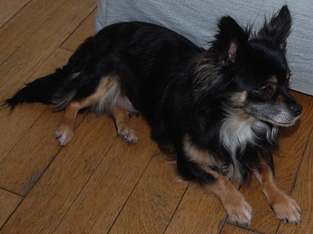 IDYLLE, drôle de vie pour cette Chihuahua de 4 ans !! Csc_0022