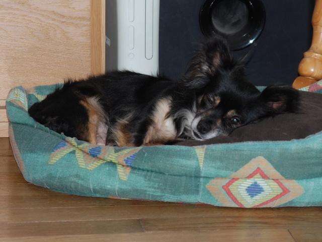 IDYLLE, drôle de vie pour cette Chihuahua de 4 ans !! Csc_0024