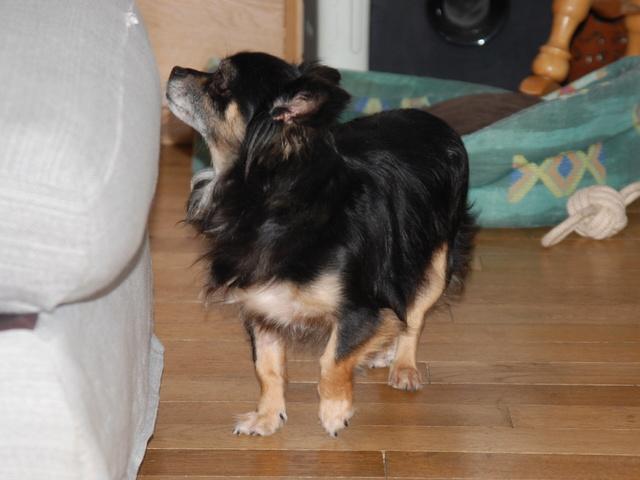 IDYLLE, drôle de vie pour cette Chihuahua de 4 ans !! Csc_0026