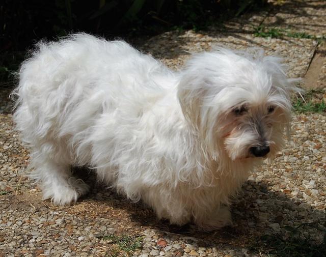 ERA, jolie Coton de Tuléar de 8 ans, réformée d'élevage - Page 2 Csc_0511