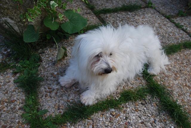 ERA, jolie Coton de Tuléar de 8 ans, réformée d'élevage - Page 2 Dsc_0010
