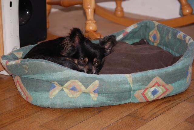 IDYLLE, drôle de vie pour cette Chihuahua de 4 ans !! Dsc_0021