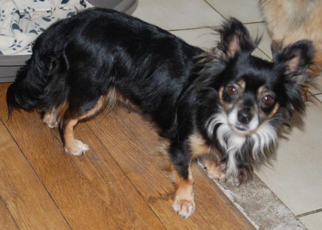 IDYLLE, drôle de vie pour cette Chihuahua de 4 ans !! Dsc_0024