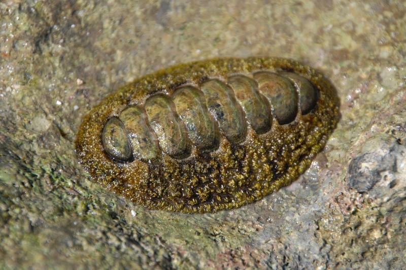 Un chiton de l'île Europa - Acanthopleura gemmata ? 20130510