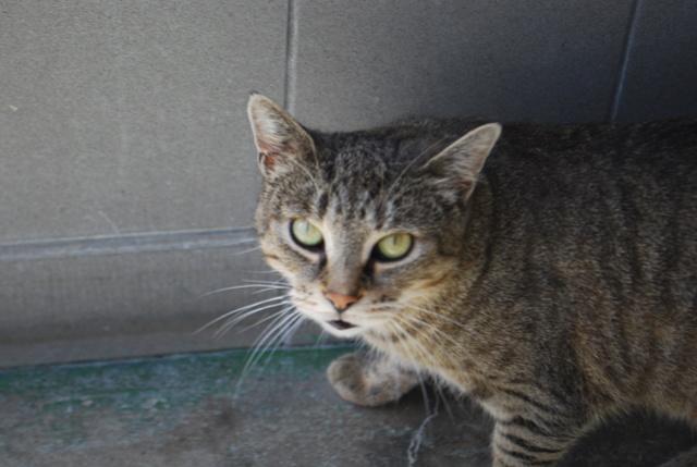 Maya, chatte tigrée Dsc_8512