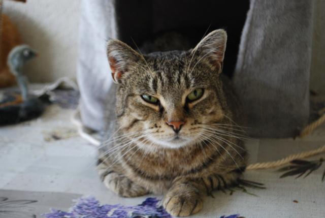 Maya, chatte tigrée Dsc_8714