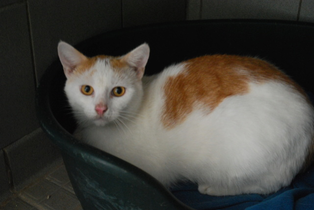 Chat blanc et roux Dsc_8817