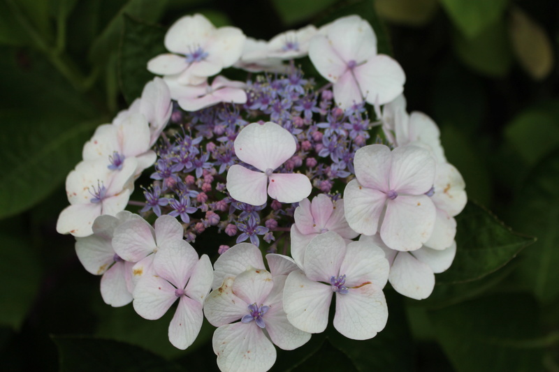 Hortensias  - Page 5 Img_4211