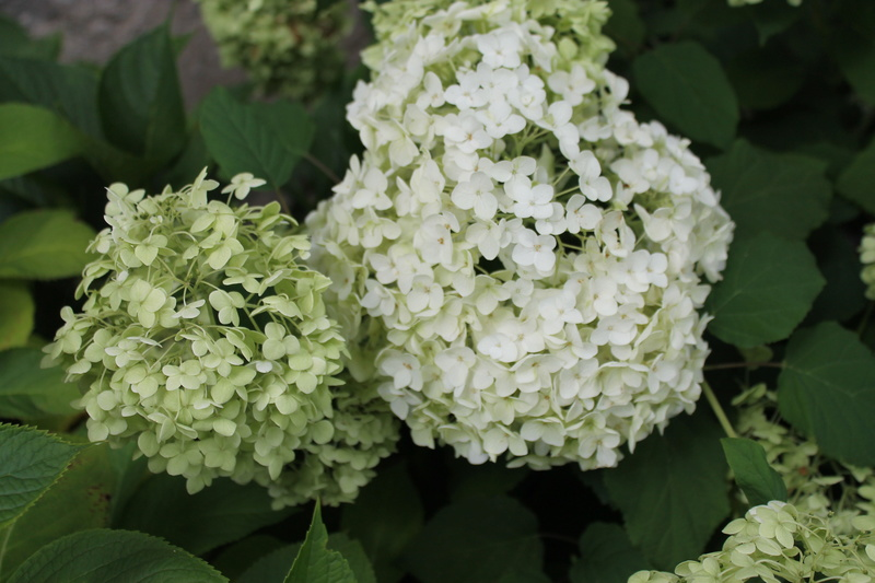 Hortensias  - Page 5 Img_4212