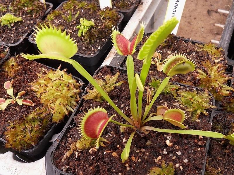 Quelques photo de cultivars Sdc17417