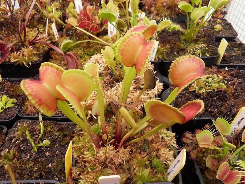 Quelques photo de cultivars Sdc17419
