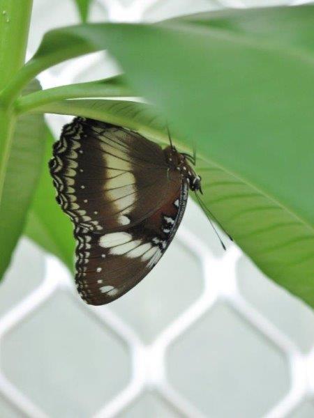 Papillons d'Australie (Etat du Queensland) [Plusieurs identifications résolues] Austra10