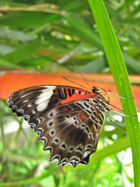 Papillons d'Australie (Etat du Queensland) [Plusieurs identifications résolues] Austra11