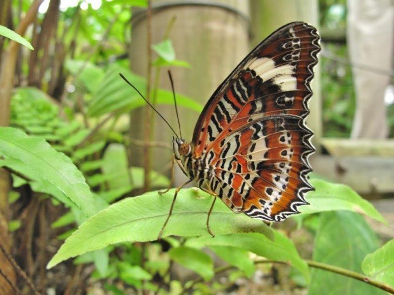 Papillons d'Australie (Etat du Queensland) [Plusieurs identifications résolues] Austra12