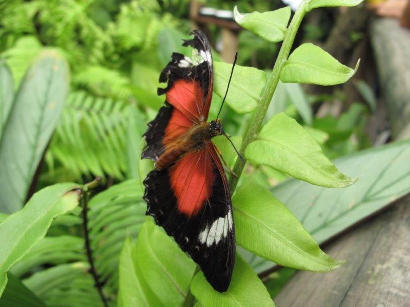 Papillons d'Australie (Etat du Queensland) [Plusieurs identifications résolues] Austra13