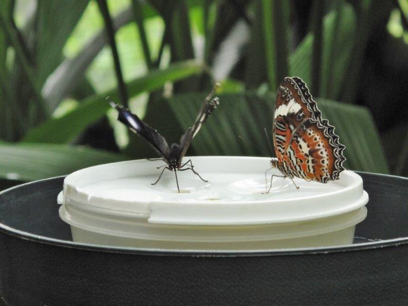Papillons d'Australie (Etat du Queensland) [Plusieurs identifications résolues] Austra14