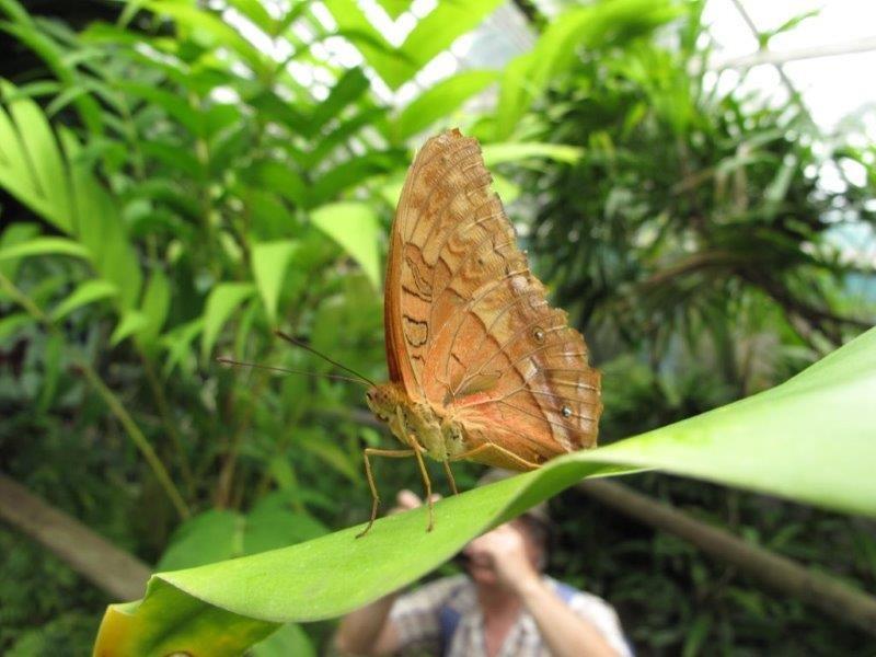 Papillons d'Australie (Etat du Queensland) [Plusieurs identifications résolues] Austra15