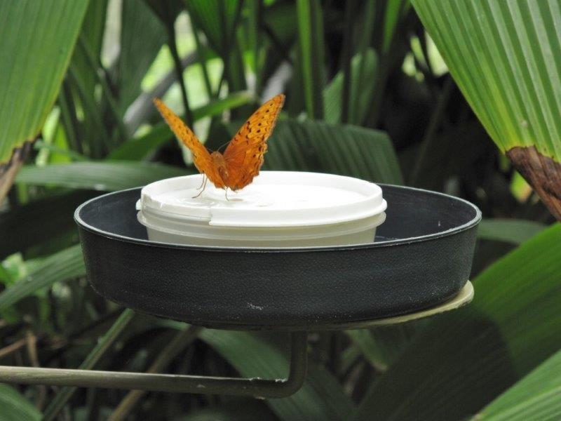 Papillons d'Australie (Etat du Queensland) [Plusieurs identifications résolues] Austra17