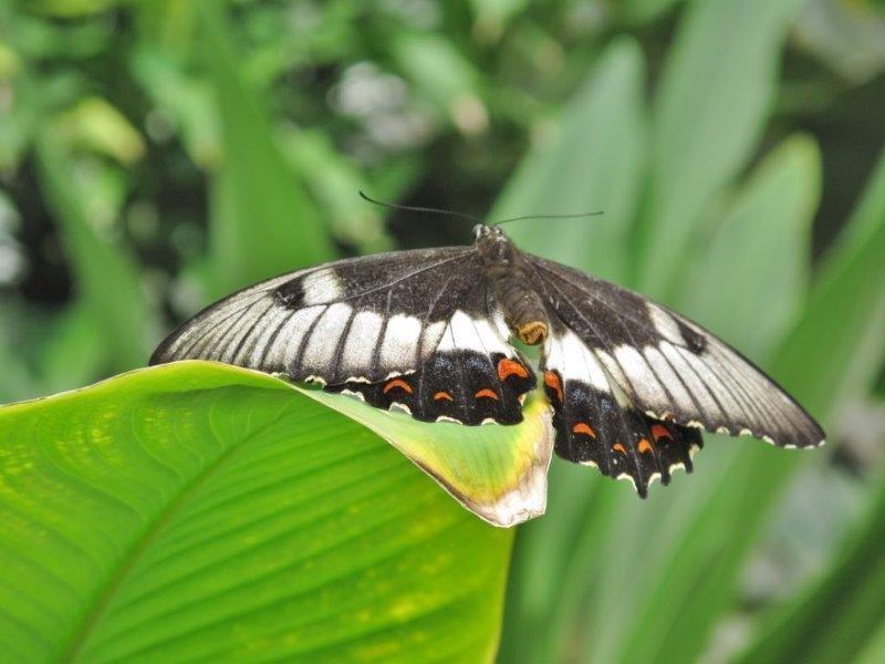 Papillons d'Australie (Etat du Queensland) [Plusieurs identifications résolues] Austra18