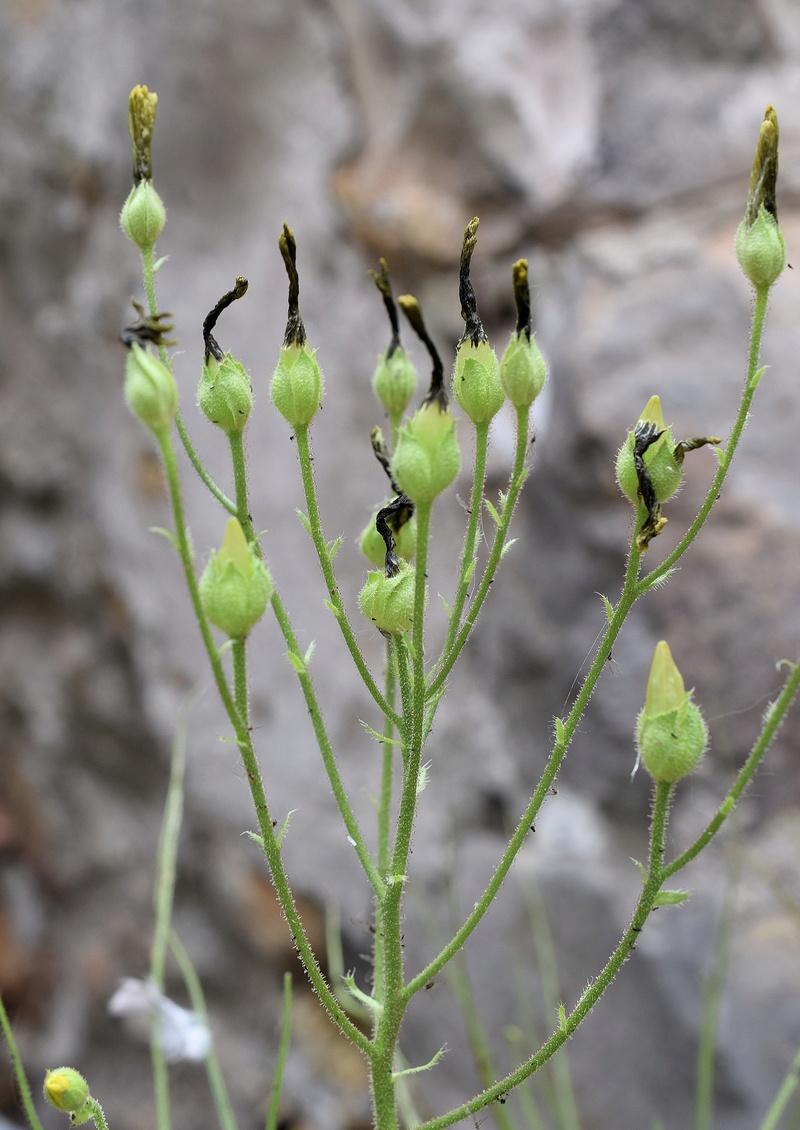 Floraison de Drosophyllum Droso_17