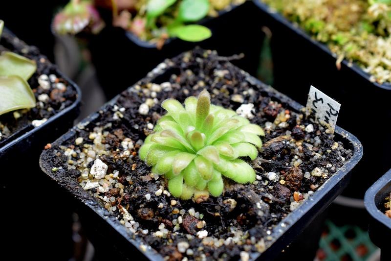 photos de pinguicula - Page 6 Sumide10