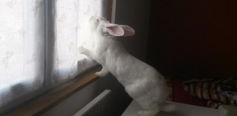 [DECEDE] Enyo, lapin réhabilité de laboratoire 12113010
