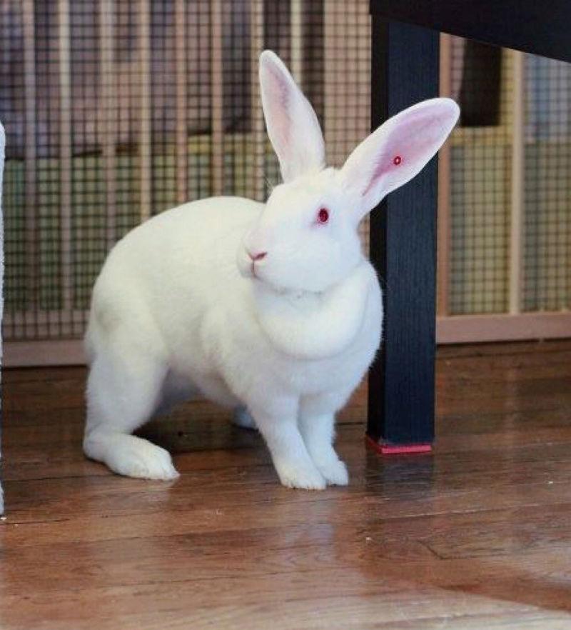 [ADOPTEE] Era, lapine réhabilitée de laboratoire 16074110