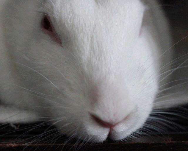 [ADOPTEE] Era, lapine réhabilitée de laboratoire 18475510