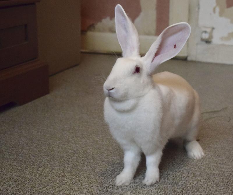 [ADOPTEE] Etna, lapine réhabilitée de laboratoire 22450010