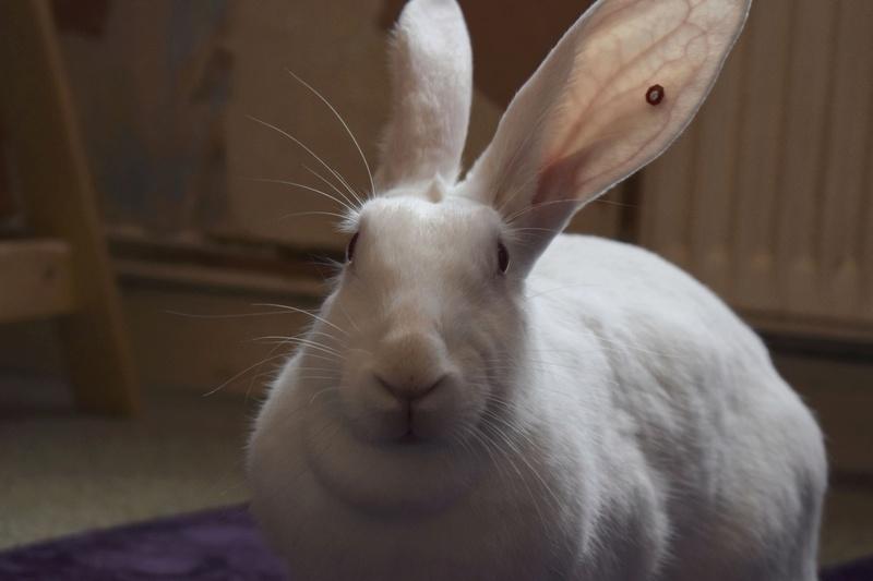 [ADOPTEE] Etna, lapine réhabilitée de laboratoire 22467310