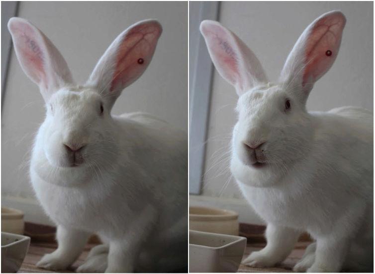 [ADOPTEE] Eléa, lapine réhabilitée de laboratoire 28412810