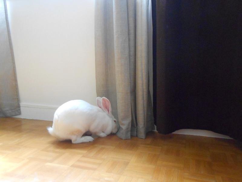 [ADOPTEE] Ebène, lapine réhabilitée de laboratoire 32679710