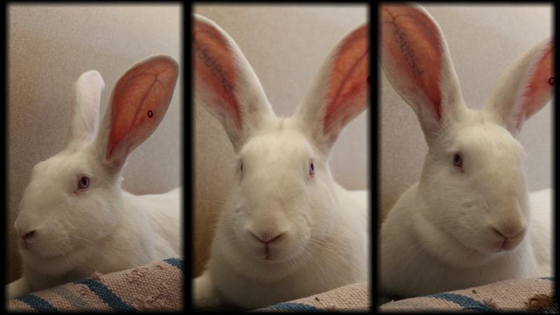 [ADOPTEE] Eléa, lapine réhabilitée de laboratoire 35050910