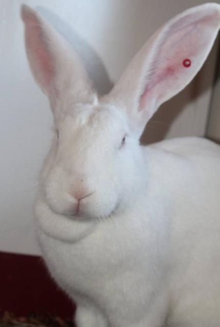 [ADOPTEE] Eléa, lapine réhabilitée de laboratoire 35391510