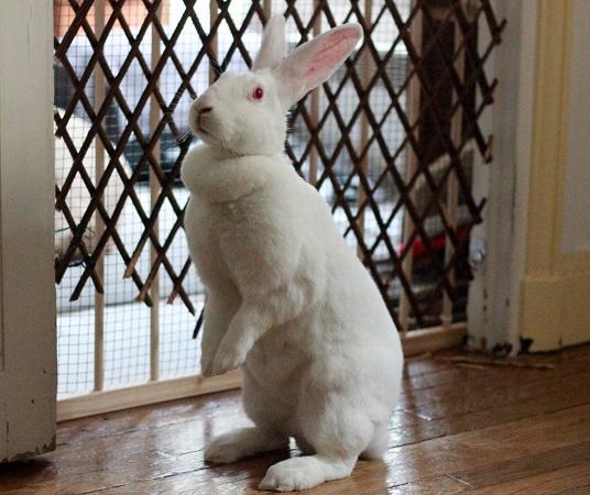 [ADOPTEE] Era, lapine réhabilitée de laboratoire 36057810