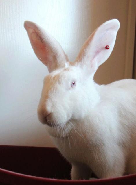 [ADOPTEE] Eléa, lapine réhabilitée de laboratoire 37237310
