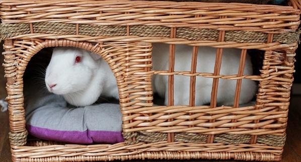 [ADOPTEE] Era, lapine réhabilitée de laboratoire 40987610