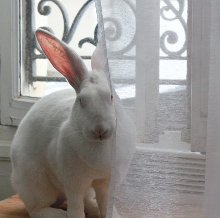 [ADOPTEE] Era, lapine réhabilitée de laboratoire 42984810