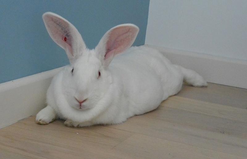 [ADOPTEE] Etoile, lapine réhabilitée de laboratoire 48317810